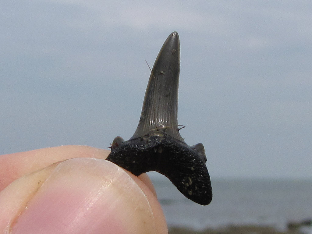Herne Bay Striatolamia shark tooth
