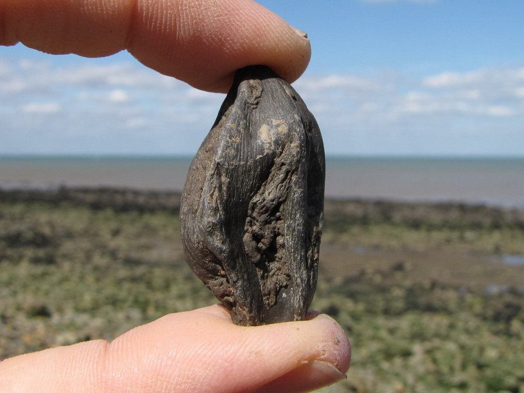 Isle of Sheppey Nipa fossil