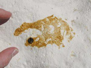 Peacehaven fossil sponge