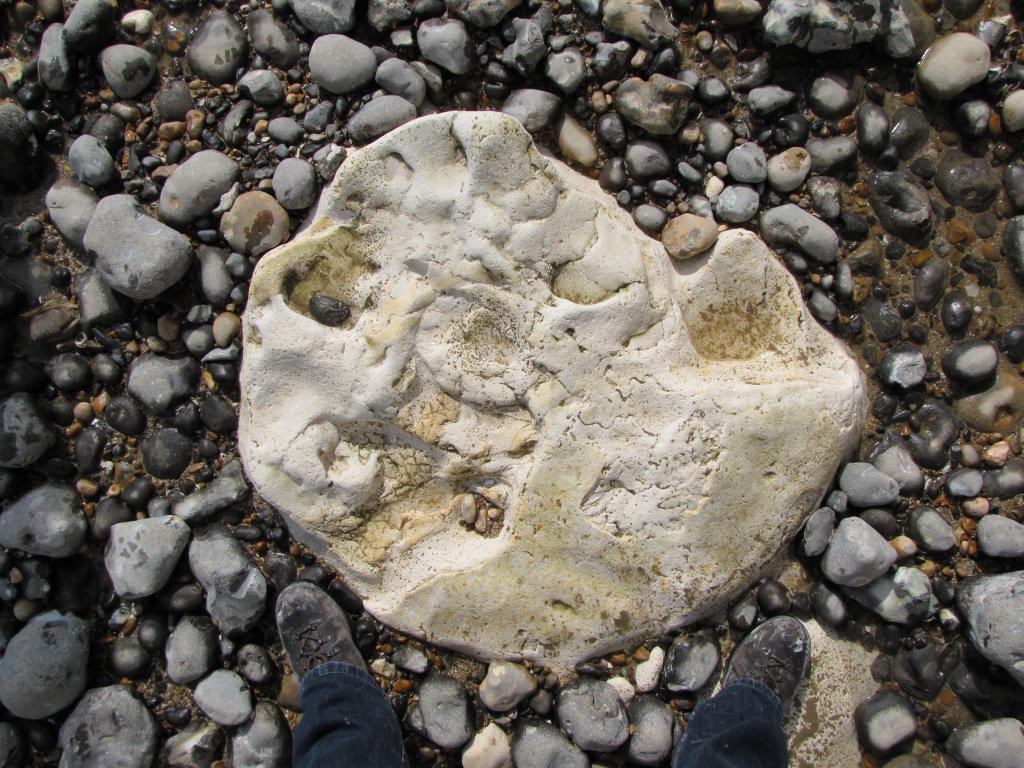 Peacehaven parapuzosia ammonite10