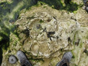Peacehaven parapuzosia ammonite11