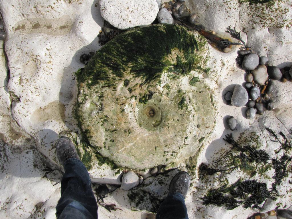 Peacehaven parapuzosia ammonite