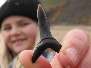 Walton-on-the-Naze Striatolamia shark tooth